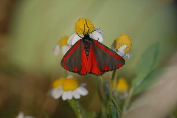 Rdeči pisanček (Melitaea didyma), foto: Slavko Polak