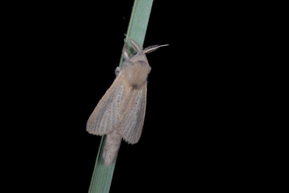 Trstni lesovrt (Phragmataecia castaneae), foto: Slavko Polak