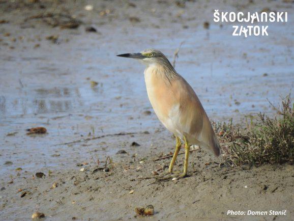 Sgarza ciuffetto/Squacco Heron/Ardeola ralloides, foto: Domen Stanič