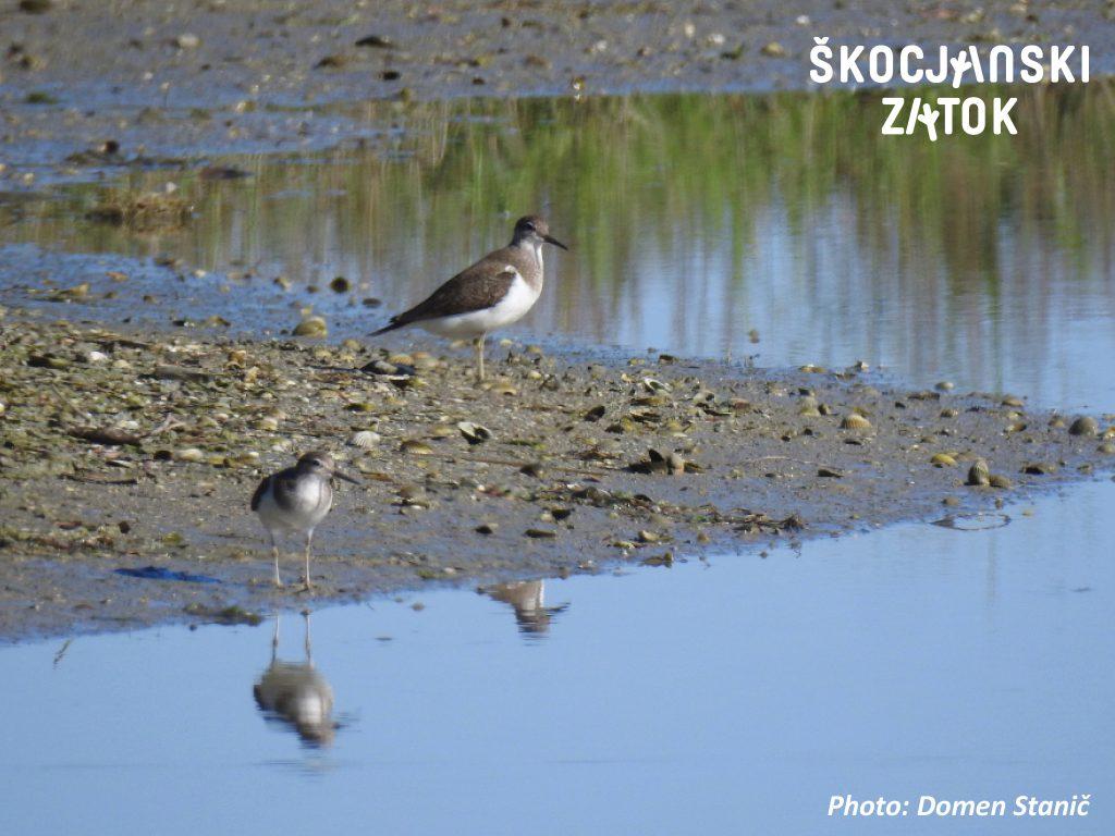 Mali martinec/Piro piro piccolo/Common Sandpiper/Actitis hypoleucos, foto: Domen Stanič