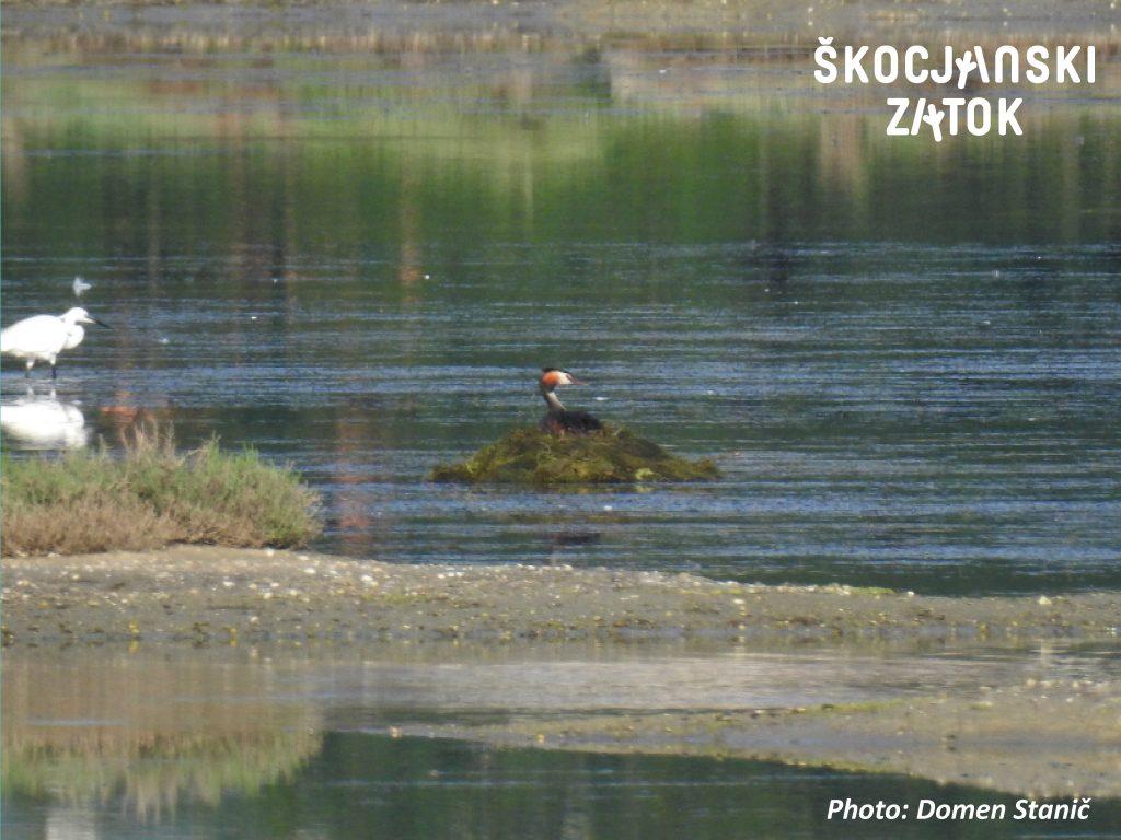 Čopasti ponirek/Svasso maggiore/Great Crested Grebe/Podiceps cristatus, photo: Domen Stanič
