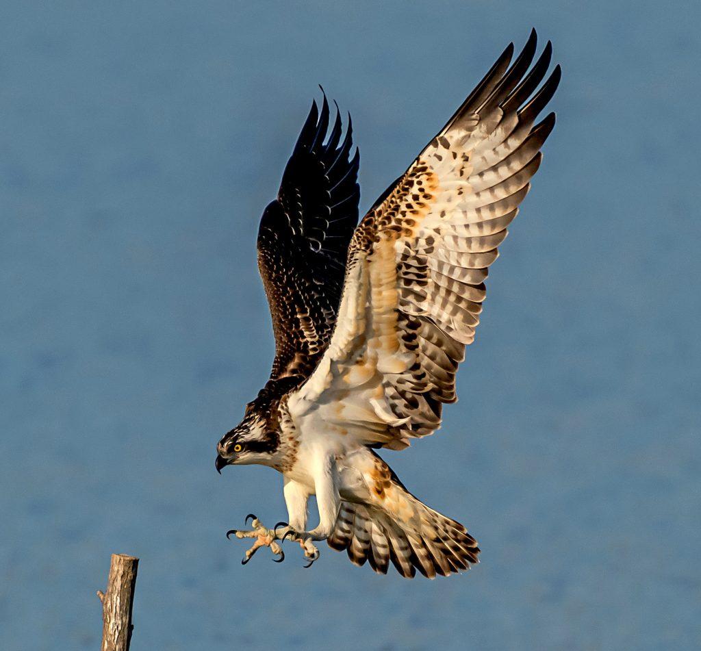 RIBJI OREL/Falco pescatore/Osprey/Pandion haliaetus Photo: Danilo Kotnik