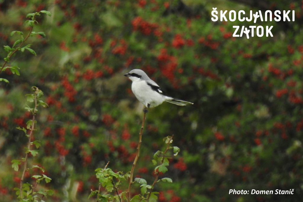 VELIKI SRAKOPER/Averla maggiore/Great Grey Shrike/Lanius excubitor, photo: Domen Stanič