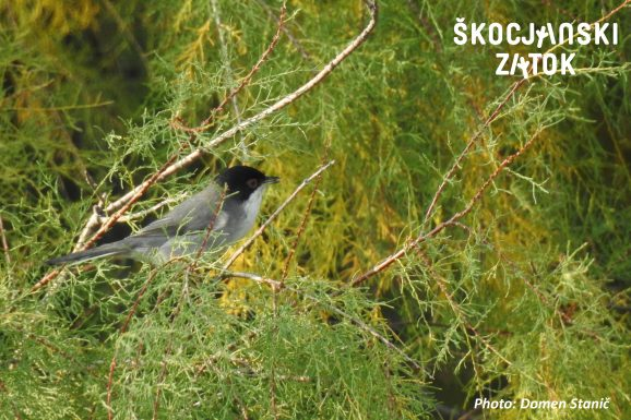 ŽAMETNA PENICA/Occhiocotto/Sardinian Warbler/Sylvia melanocephala, photo: Domen Stanič