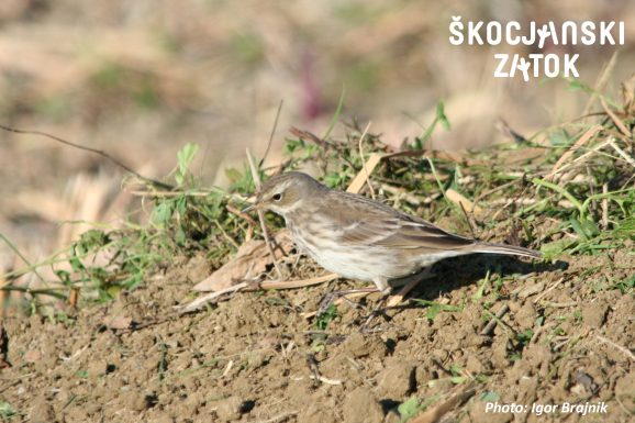 Vriskarica/Spioncello/Water Pipit/Anthus spinoletta, photo: Igor Brajnik