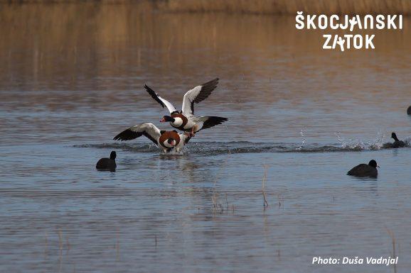 Duplinska kozarka/Volpoca/Shelduck/Tadorna tadorna & Liska/Folaga/Coot/Fulica atra, Photo: Duša Vadnjal