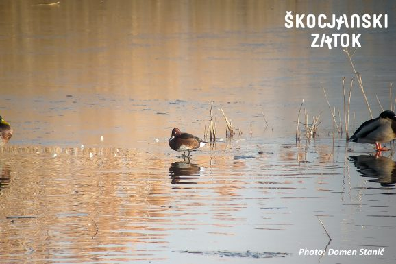 KOSTANJEVKA/Moretta tabaccata/Ferruginous Duck/Aythya nyroca, photo: Domen Stanič