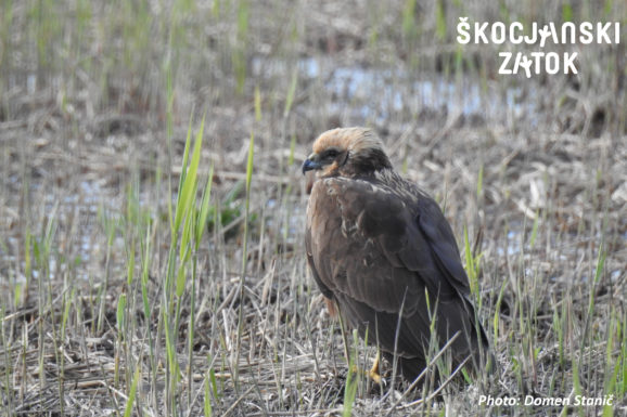 Rjavi lunj/Falco di palude/Marsh Harrier/Circus aeruginosus, photo: Domen Stanič