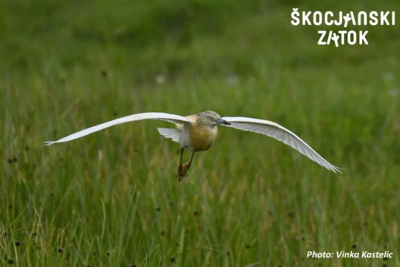 ČOPASTA ČAPLJA/Sgarza ciuffetto/Squacco Heron/Ardeola ralloides, photo: Vinka Kastelic