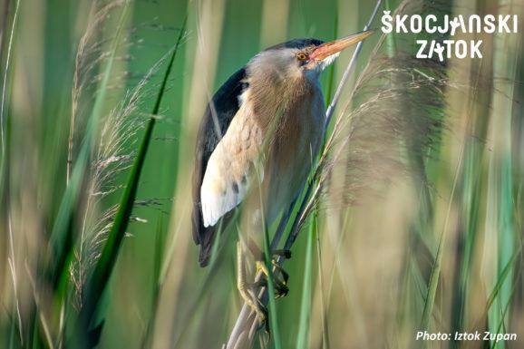 Čapljica, foto: Iztok Zupan